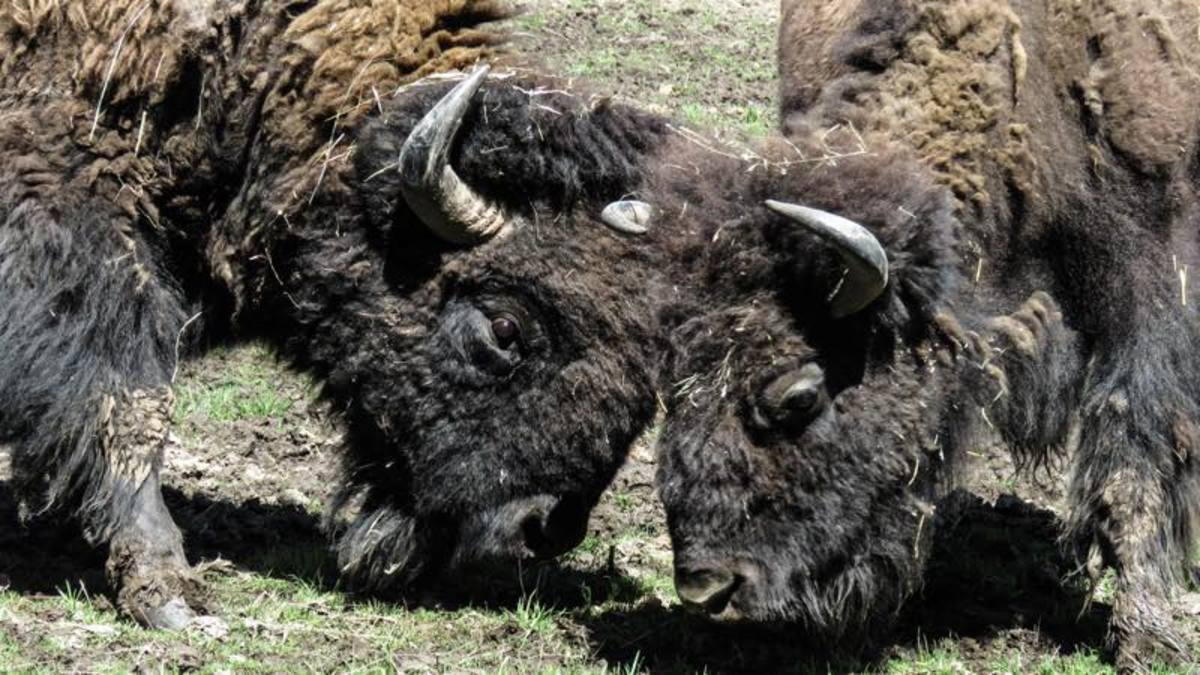 Bison munch contentedly on the Coeur d'Alene reservation.