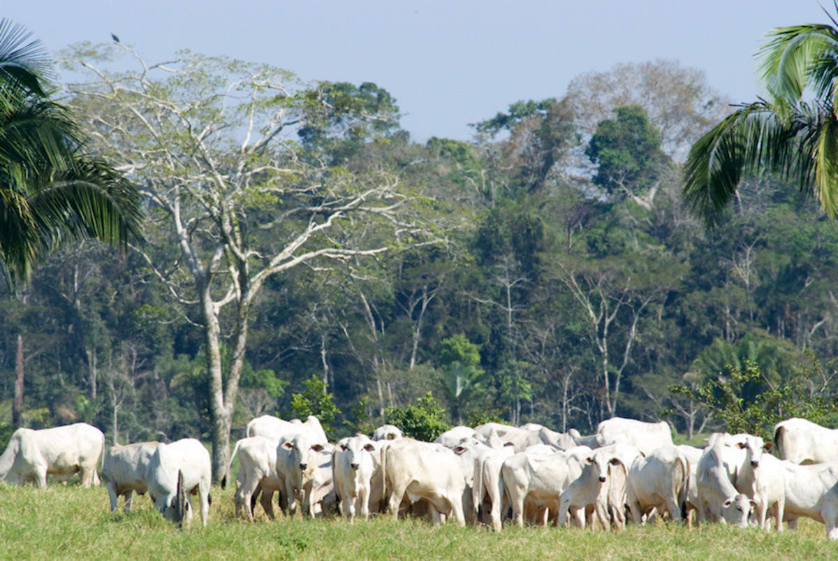Historically, expansion of cattle pastures has driven deforestation in the Brazilian Amazon, where these pastures cover about two-thirds of all the deforested land. As the rainforests are destroyed by things like cattle ranching, buried sites like Amazon rainforest geoglyphs are being discovered.